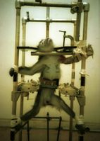 Die Veröffentlichung dieses Fotos durch PETA im Jahr 1981 löste die öffentliche Kontroverse um die Silver Spring-Monkeys aus und wurde in der Tierversuchsdebatte der USA zu einer Ikone.[18]