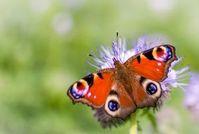 Schmetterling: bunte Flügel als Vorbild für Forscher. Bild: flickr.com/sonder3