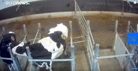"""Bild: Screenshot Youtube Video """"Cows with 'portholes' into stomach filmed by animal rights group"""""""
