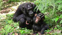 Schimpansenmutter mit ihrem Jungen. Die Tiere verbringen viel Zeit mit ausgedehnten Verhandlungen. Quelle: Marlen Fröhlich (idw)