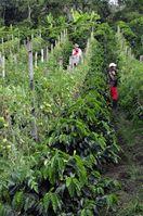 Mischanbau von Kaffee und Tomaten in Kolumbien (Symbolbild)