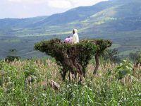In Südäthiopien: Ein Farmer hält Ausschau in einer Baumkrone.