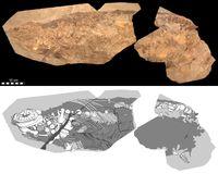 Das untersuchte Fossil des Ichthyosauriers der Gattung Stenopterygius ist ca. 85 Zentimeter lang. Quelle: Foto: Urweltmuseum Hauff, Johan Lindgren (idw)