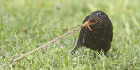 """Selbst """"Allerweltsvögel wie die Amsel werden immer weniger. Die Vögel leiden vor allem unter dem Mangel an Insekten und dem Verlust an Lebensraum. Quelle: MPI f. Max Planck Institut für Ornithologie/ Michael Dvorak (idw)"""