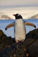 Eselspinguine (Pygoscelis papua) auf Ardley Island, Antarktis Quelle: Foto: Stephen Roberts (idw)