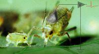Blattläuse stechen zielgenau in die Siebröhren der Pflanzen. Mit ihnen als Bio-Elektroden lassen sich die elektrischen Ströme messen, die dort fließen. Quelle: (Bild: Jörg Fromm / Christian Wiese) (idw)