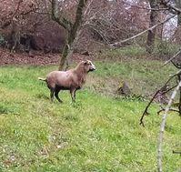 Bild des Schafes Bild: Polizei