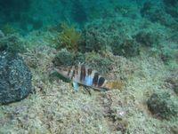 Eine cleverer Schriftbarsch in seinem natürlichen Lebensraum vor Mallorca. Quelle: Fotograf: Josep Alós (idw)