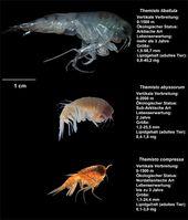 Ein Größenvergleich aller drei Flohkrebsarten, die im Rahmen der Studie untersucht wurden. Quelle: Foto: A. Kraft / Alfred-Wegener-Institut (idw)