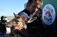 VIER PFOTEN rettet 19 Dammhirsche vor dem Abschuss auf Robben Island Bild: VIER PFOTEN