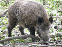 Europäisches Wildschwein (Sus scrofa scrofa)