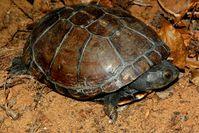 Unnötig geschützt: Die Schildkröte Pelusios subniger Quelle: © James Harvey (idw)