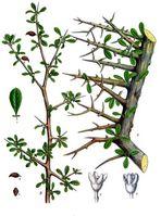 Myrrhe. A Teil eines beblätterten Astes in natürl. Grösse; B Zweigende mit Früchten, desgl.; 1 Blatt, vergrössert; 2 männliche Blüthe von Bals. Ehrenbergianum, nach Berg, desgl.; 3 weibliche Blüthe derselben Art, gleichfalls nach Berg, desgl.; 4 und 5 Frucht, natürl. Grösse. Latina: Commiphora myrrha.