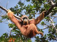 Männlicher Orang-Utan in Sumatras freier Wildbahn Quelle: Bild: Ellen Meulmann, Anthropologisches Institut und Museum, Universität Zürich (idw)