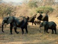 Elefanten: Wilderei in Afrika ein echtes Problem. Bild: pixelio.de/Lothar Henke