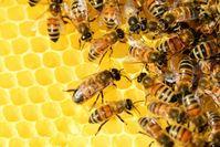 Honigbienen Bienenstock