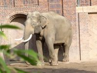 "Zoo Leipzig: Elefantenbulle ""Mekong"" vor dem Elefantenhaus"
