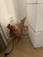 Beweisfoto: Huhn begeht Hausfriedensbruch und legt ein Ei Bild: Polizei