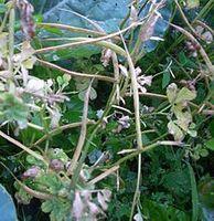 Bockshornklee mit Samen. Bild: Yak at de.wikipedia