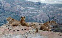 Löwen in LIONSROCK Bild: VIER PFOTEN