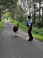 Polizeibeamte konnten den entlaufenen Emu am Dienstag in Borken-Borkenwirthe in Sicherheit bringen. Bild: Polizei