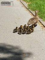 Gerettete Entengroßfamilie