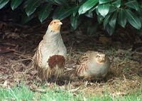 Rebhühner (Perdix perdix)