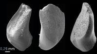 37 Millionen Jahre alte Zähne eines Marmorkarpfens Quelle: Foto: Senckenberg (idw)