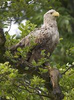 Der Seeadler - trotz steigender Bestandszahlen immernoch bedroht. Bild: Dr. Peter Wernicke / WWF