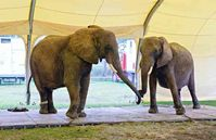 Afrikanische Elefanten beim Zirkus Krone Bild: VIER PFOTEN
