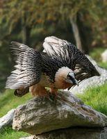 Bartgeier (Gypaetus barbatus)
