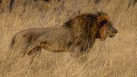 Löwe Cecil im Hwange National Park, Zimbabwe. Bild: Vince O'Sullivan, on Flickr CC BY-SA 2.0