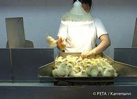Leider männlich - Küken werden zum Schreddern aussortiert. Bild: © PETA / Karreman