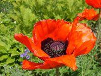 Mohnblumen: schmücken Englands Denkmäler. Bild: pixelio.de/hotmoto