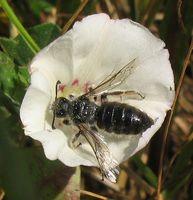 Spiralhornbiene auf der Ackerwinde