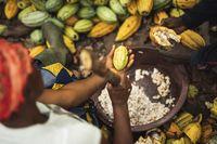 """Eine Kakaoschote wird aufgebrochen. Bild: """"obs/TransFair e.V./© Christoph Köstlin"""""""