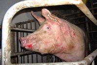 """Mutterschwein im sogenannten """"Kastenstand"""", in einer Mastanlage in Baden-Württemberg. Bild: VIER PFOTEN - Stiftung für Tierschutz (openPR)"""