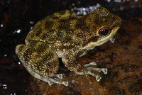 Odontobatrachus natator: eine Art der neuen Familie Quelle: Foto: Mark-Oliver Rödel (idw)