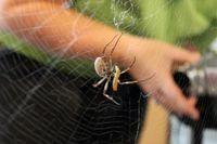 Spinnenseide ist der Schlüssel zur Wiederherstellung von geschädigtem Herzgewebe. Quelle: Foto: Universität Bayreuth. (idw)