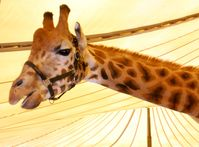 """Giraffe im Circus Voyage.  Bild: """"obs/Aktionsbündnis """"Tiere gehören zum Circus""""/Dirk Candidus"""""""