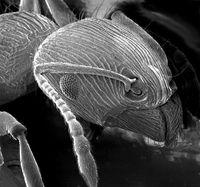 Ameisenkopf im Rasterelektronenmikroskop