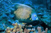 Franzosen-Kaiserfisch (Pomacanthus paru)