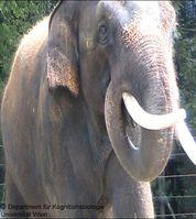 Der Elefant Koshik, während er die menschliche Sprache imitiert Quelle: Copyright: Department für Kognitionsbiologie, Universität Wien (idw)