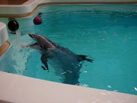 Großer Tümmler im Delfinarium in Nürnberg, 2003 Bild: wikipedia.org