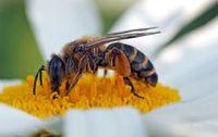 Honigbiene beim Sammeln von Blütenstaub.