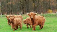Schottischen Hochlandrinder sind perfekte Landschaftspfleger Bild: SWR/Ricardo Garzon Mesa Fotograf: SWR - Südwestrundfunk