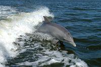 Die Delfine oder Delphine (Delphinidae) gehören zu den Zahnwalen (Odontoceti) und sind somit Säugetiere (Mammalia), die im Wasser leben (Meeressäuger). Delfine sind die vielfältigste und mit rund 40 Arten größte Familie der Wale (Cetacea). Sie sind in allen Meeren verbreitet.