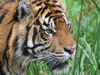 Sumatra-Tiger (Panthera tigris sumatrae) © Andreas Eistert / WWF