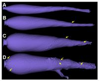 Deformierendes kupferhaltiges Geschoss (TSX). (A–D) Schusskanal mit zunehmender Krafteinwirkung. Kle Quelle: Foto: Felix Gremse (idw)