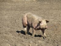 Forscher auf der Spur der Haustierzüchtung. Bild: Kerstin Nimmerrichter/pixelio.de